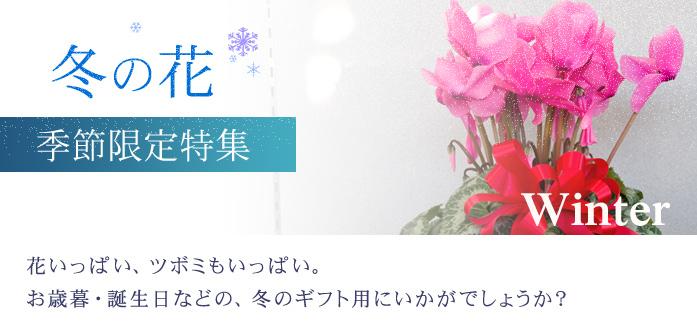 花いっぱい、ツボミもいっぱい。お歳暮・誕生日などの冬ギフト用にいかがでしょうか?